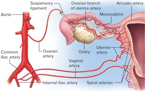 small resolution of blood supply to the uterus