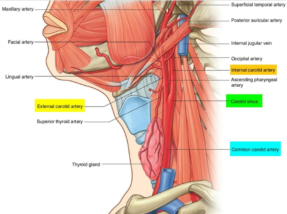 medium resolution of carotid artery system