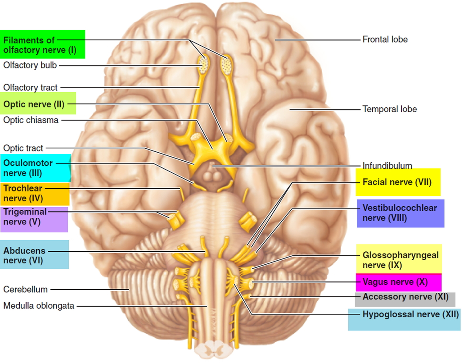 What Cranial Are 12 Nerves 1 Names Order