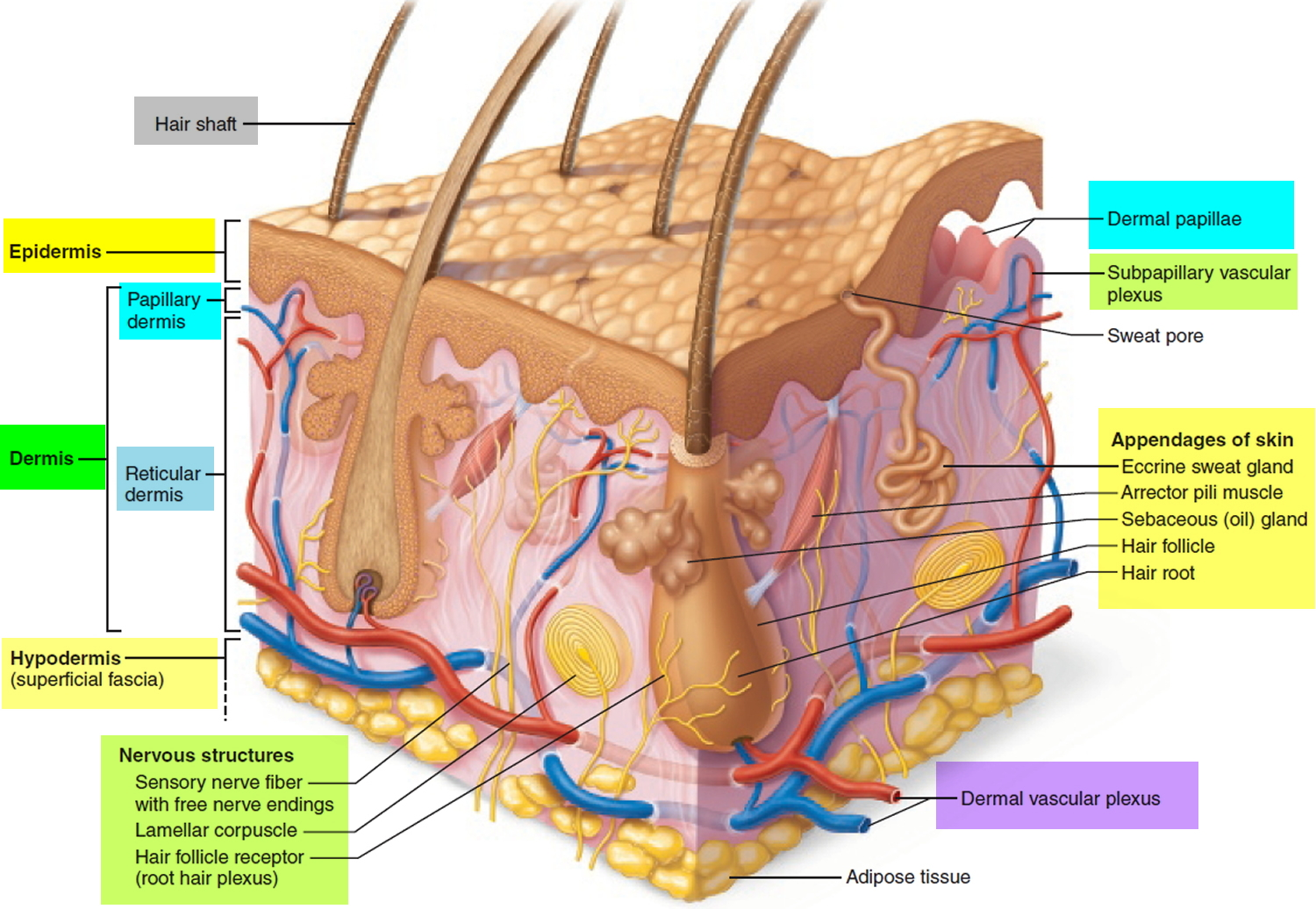 dermis layer diagram mopar ignition wiring layers papillary function epidermis