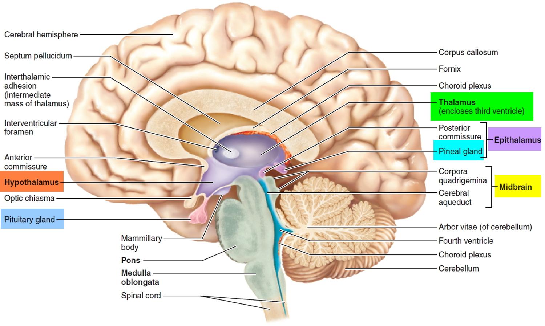 brain diagram pons dometic ct thermostat wiring human anatomy and function cerebrum brainstem