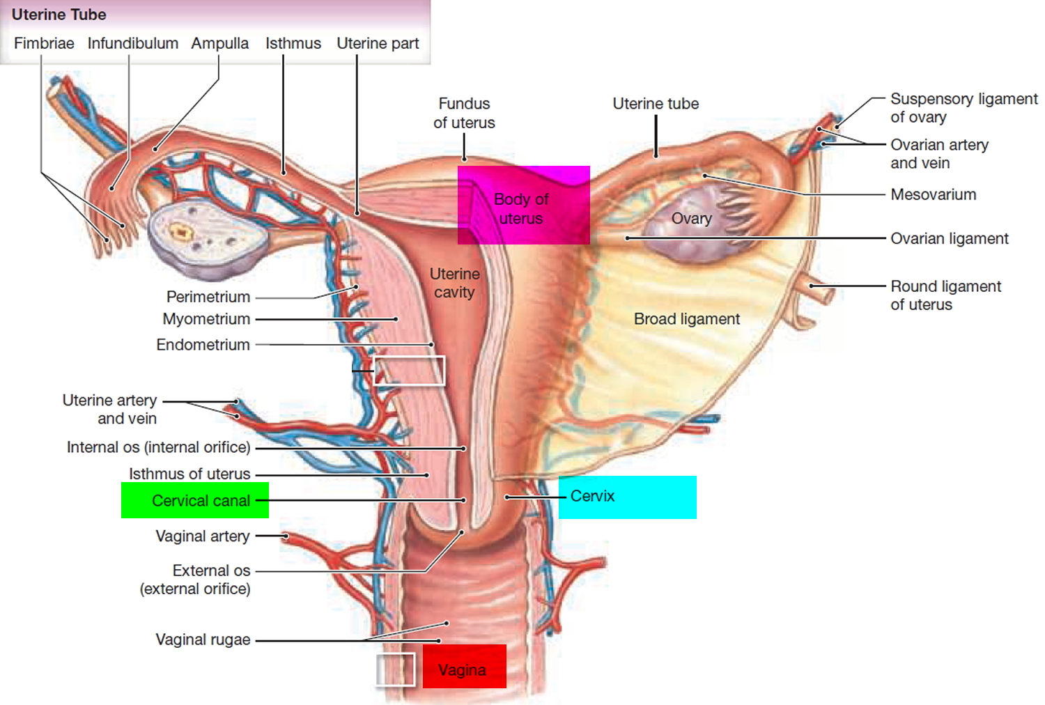 hight resolution of uterine tube diagram schematic diagramsfallopian tube function pregnancy blocked fallopian tube digestive tube diagram uterine tube