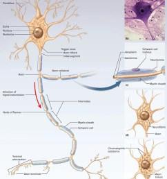 the nervous system [ 1500 x 1738 Pixel ]