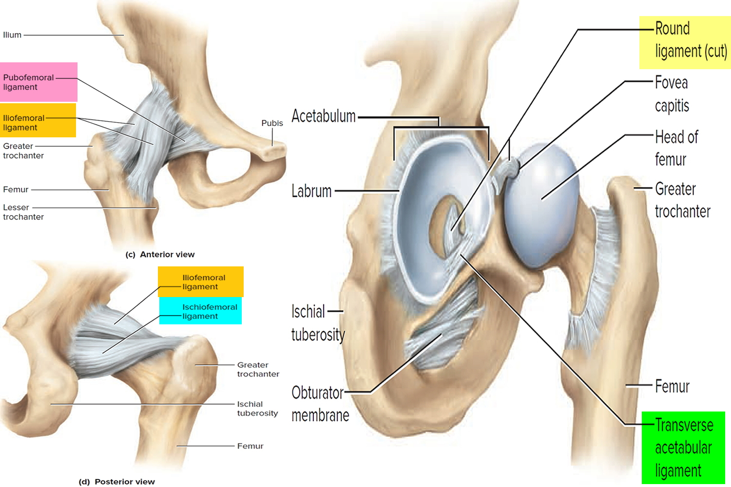 hight resolution of hip joint ligaments