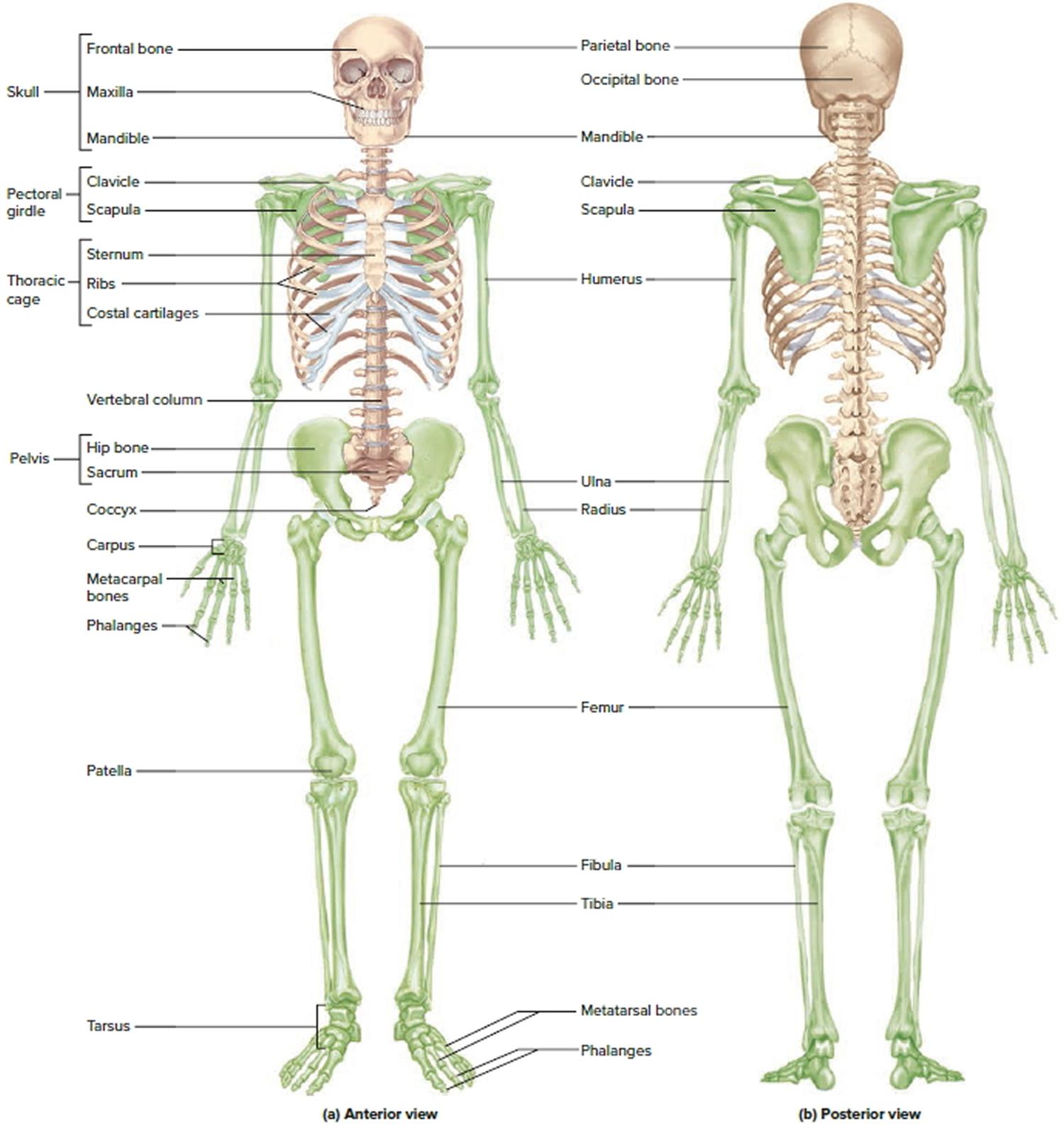 a labeled diagram of the skeletal system car audio wiring diagrams subwoofer human skeleton function bones