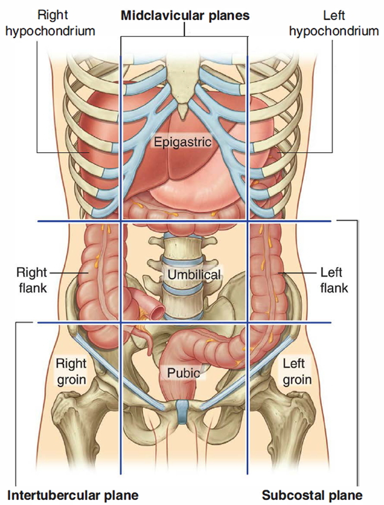 Large Intestine Anatomy Function Location Length And Role In Digestion