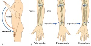 Pronation and Supination of the Forearm Pronation and
