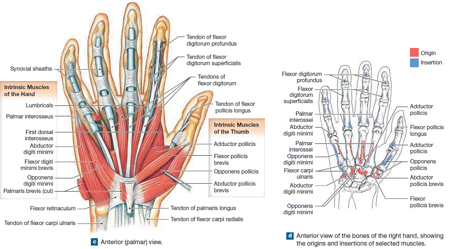 hand muscles diagram swift hot water system wiring muscle anatomy skeletal groin calf of the back view