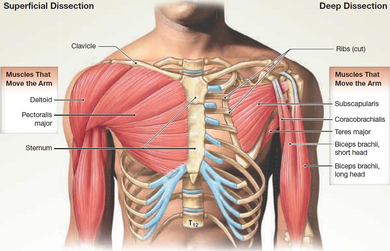 diagram of skeletal ribs kusudama flower muscle anatomy - muscles groin calf