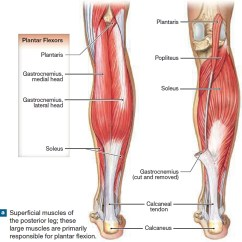 Medial Lower Leg Muscles Diagram Nema L6 30p Wiring Muscle Anatomy Skeletal Groin Calf That Move The And Foot Superficial