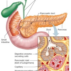Pancreas Anatomy Diagram Cooling Fan Wiring Of The Image Collections Human Body