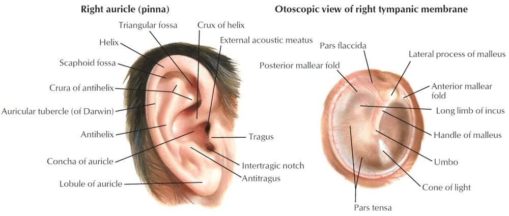 medium resolution of human ear