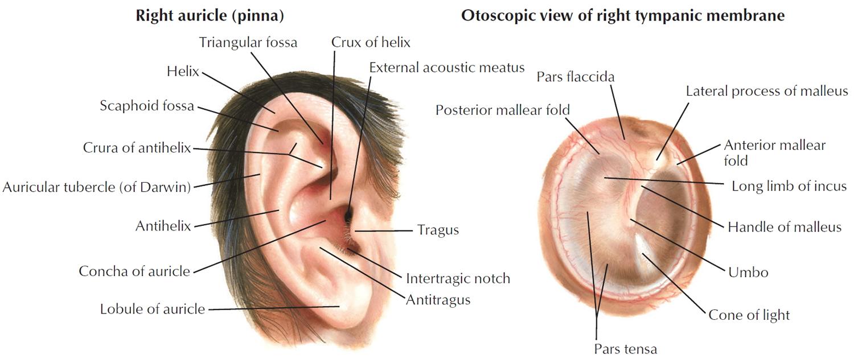 hight resolution of human ear