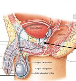 prostate gland [ 1500 x 849 Pixel ]