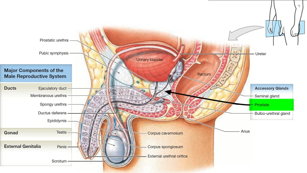 medium resolution of prostate gland