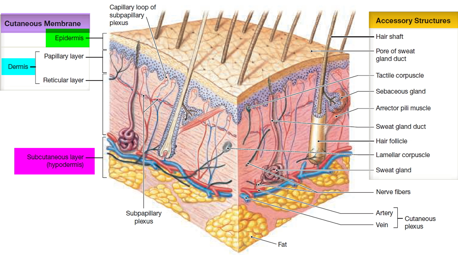 dermis layer diagram single phase 3 speed motor wiring epidermis 5 layers of outermost and function
