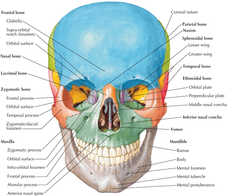 Worksheet Skeletal System Adults