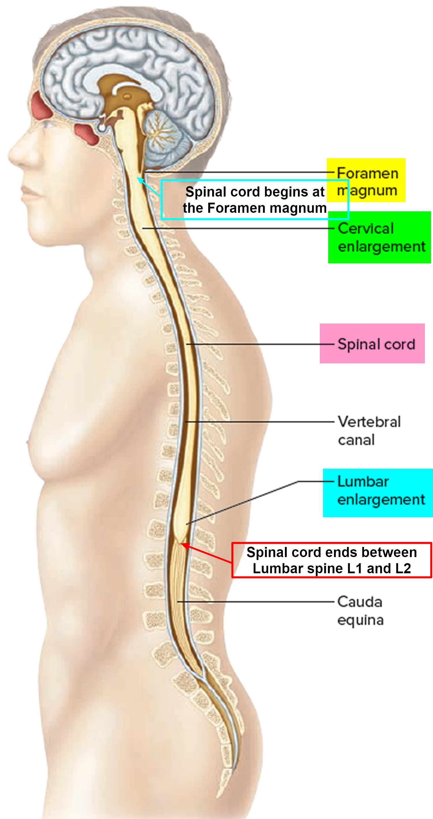 hight resolution of spinal cord