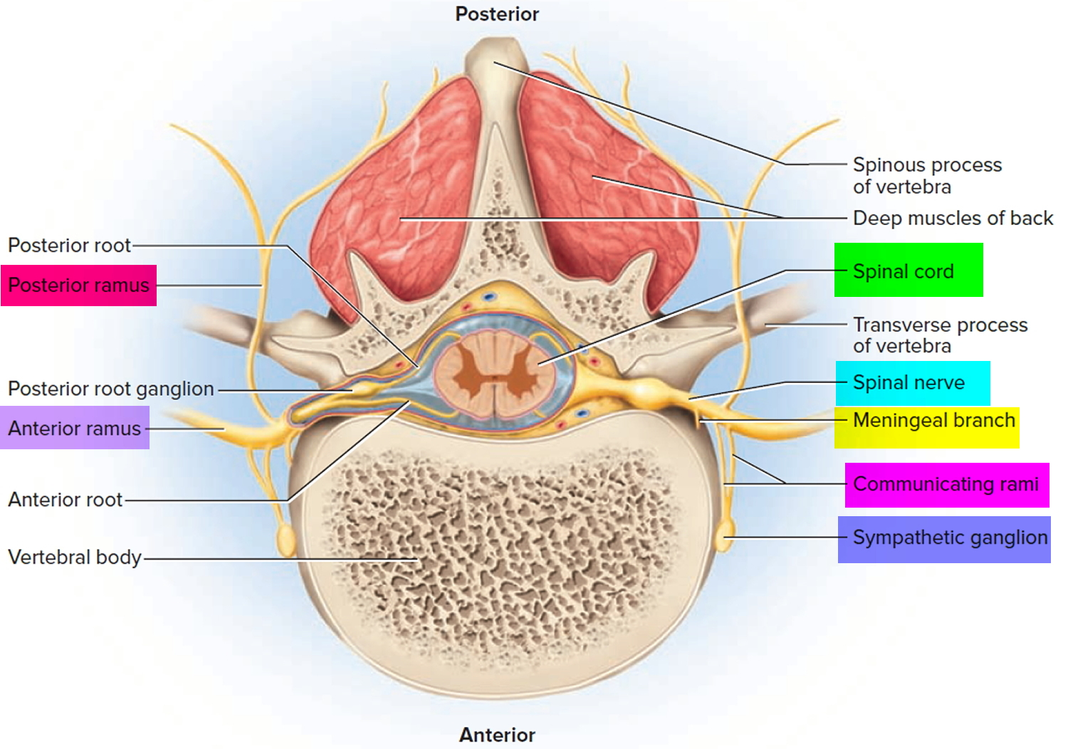 lumbar nerve root diagram best free network software spinal cord anatomy parts and functions