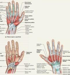 hand tendon diagram wiring diagrams schema rh 41 verena hoegerl de arm tendons and ligaments diagram human arm diagram [ 1500 x 1370 Pixel ]