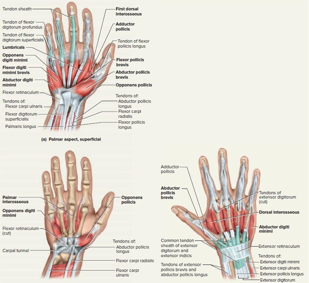 medium resolution of hand tendon diagram wiring diagrams schema rh 41 verena hoegerl de arm tendons and ligaments diagram human arm diagram