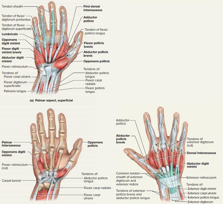 hight resolution of hand tendon diagram wiring diagrams schema rh 41 verena hoegerl de arm tendons and ligaments diagram human arm diagram