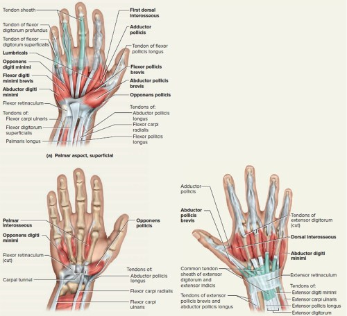 small resolution of hand tendon diagram wiring diagrams schema rh 41 verena hoegerl de arm tendons and ligaments diagram human arm diagram