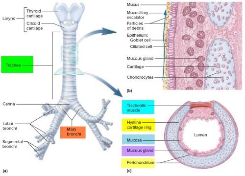 small resolution of trachea anatomy