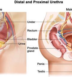 urethra [ 1500 x 805 Pixel ]