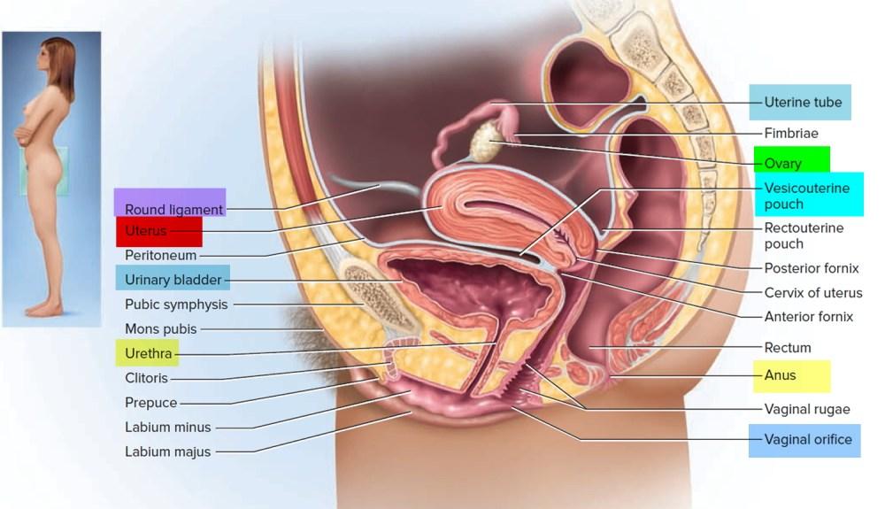 medium resolution of uterus anatomy