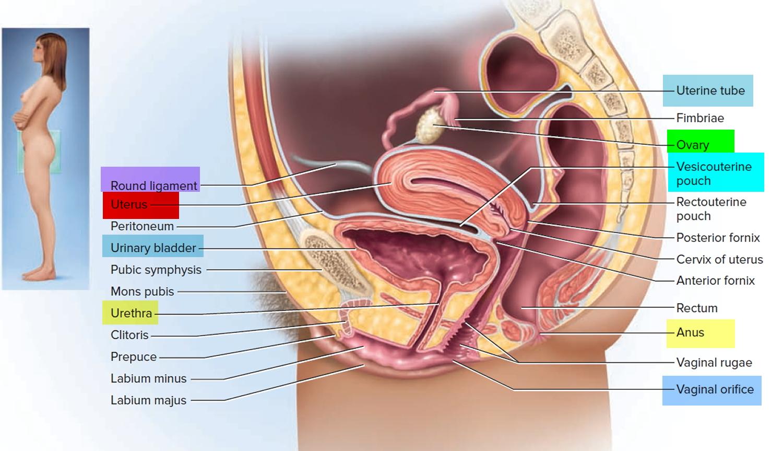 hight resolution of uterus anatomy
