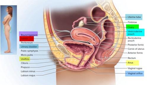 small resolution of uterus anatomy