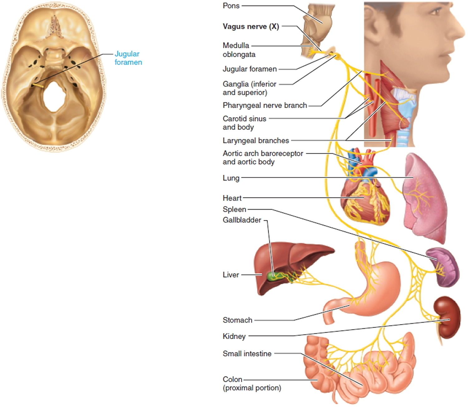 vagus nerve diagram ceiling fan wiring 2 switches 12 cranial nerves mnemonic pictures to pin on pinterest