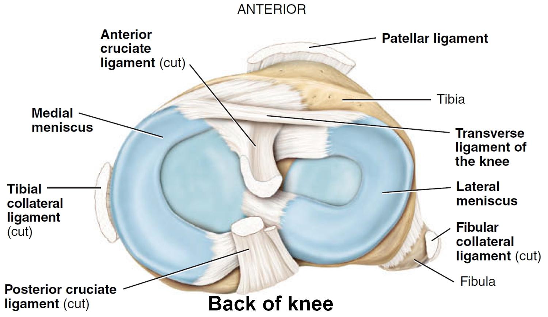 Knee Anatomy Prepatellar Bursa