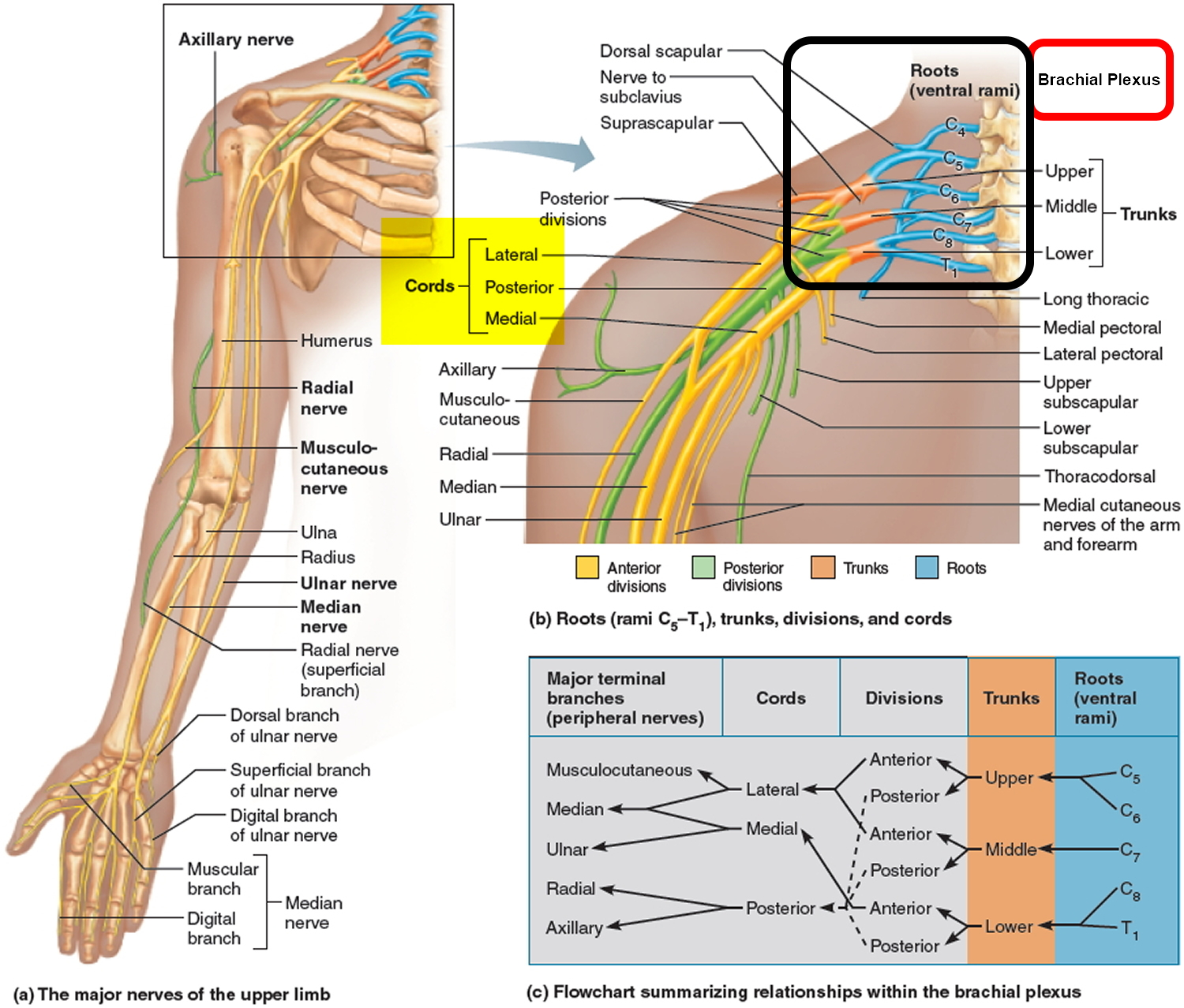 nerves in neck and shoulder diagram guitar wiring maker fender fat strat pinched nerve arm causes symptoms treatment herniated disk a herniates when its jelly like center nucleus pushes against outer ring annulus if the is very worn or injured