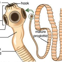 Inside Of A Worm Diagram 1995 Honda Civic Ac Wiring Tapeworm In Humans Symptoms How Do You Get And Treatment