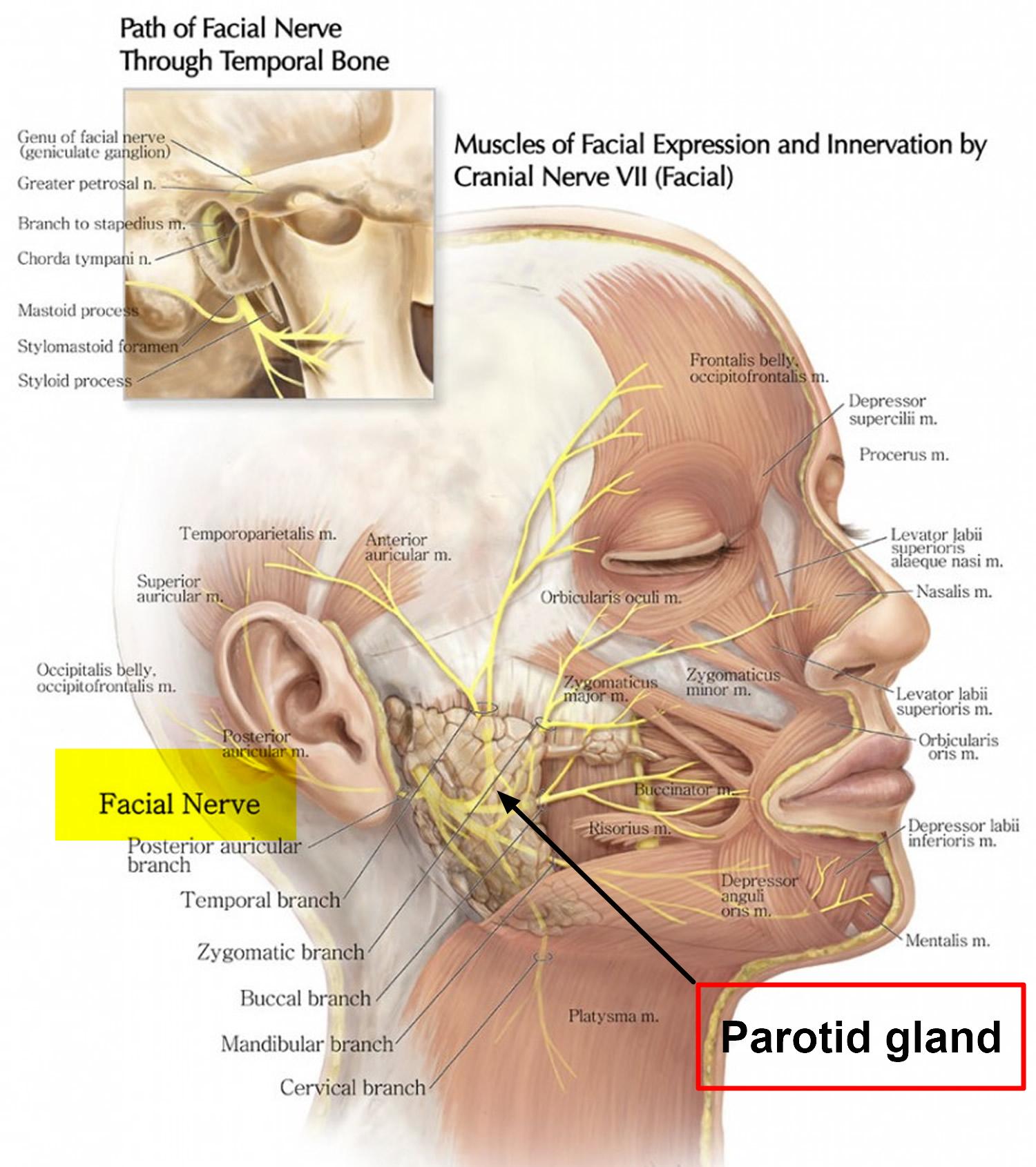 anatomy digestive diagram salivary glands deer kill zone parotid tumor causes symptoms diagnosis surgery