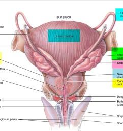 vas deferens anatomy [ 1500 x 1103 Pixel ]