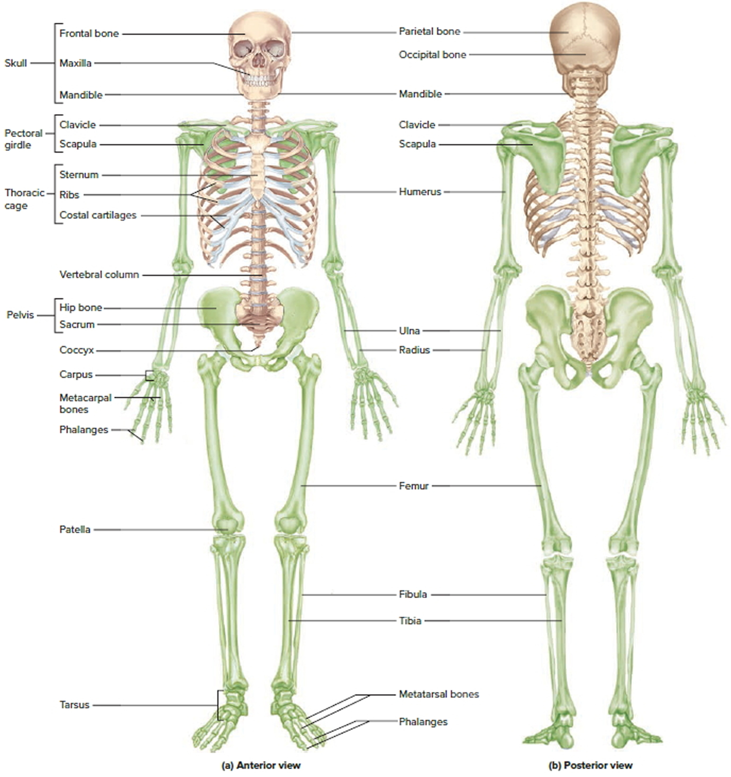 An Overview Bones Worksheet