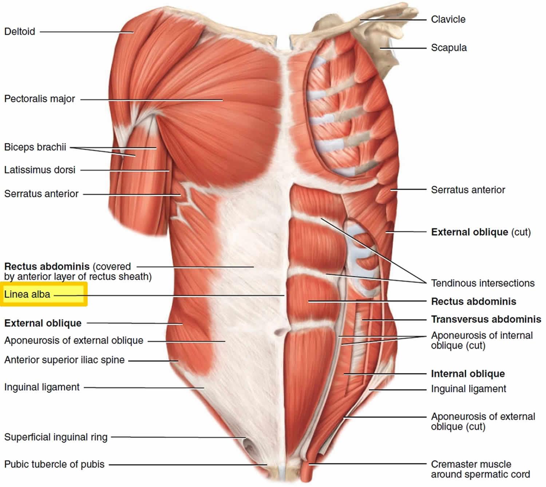 Linea alba linea alba anatomy & function