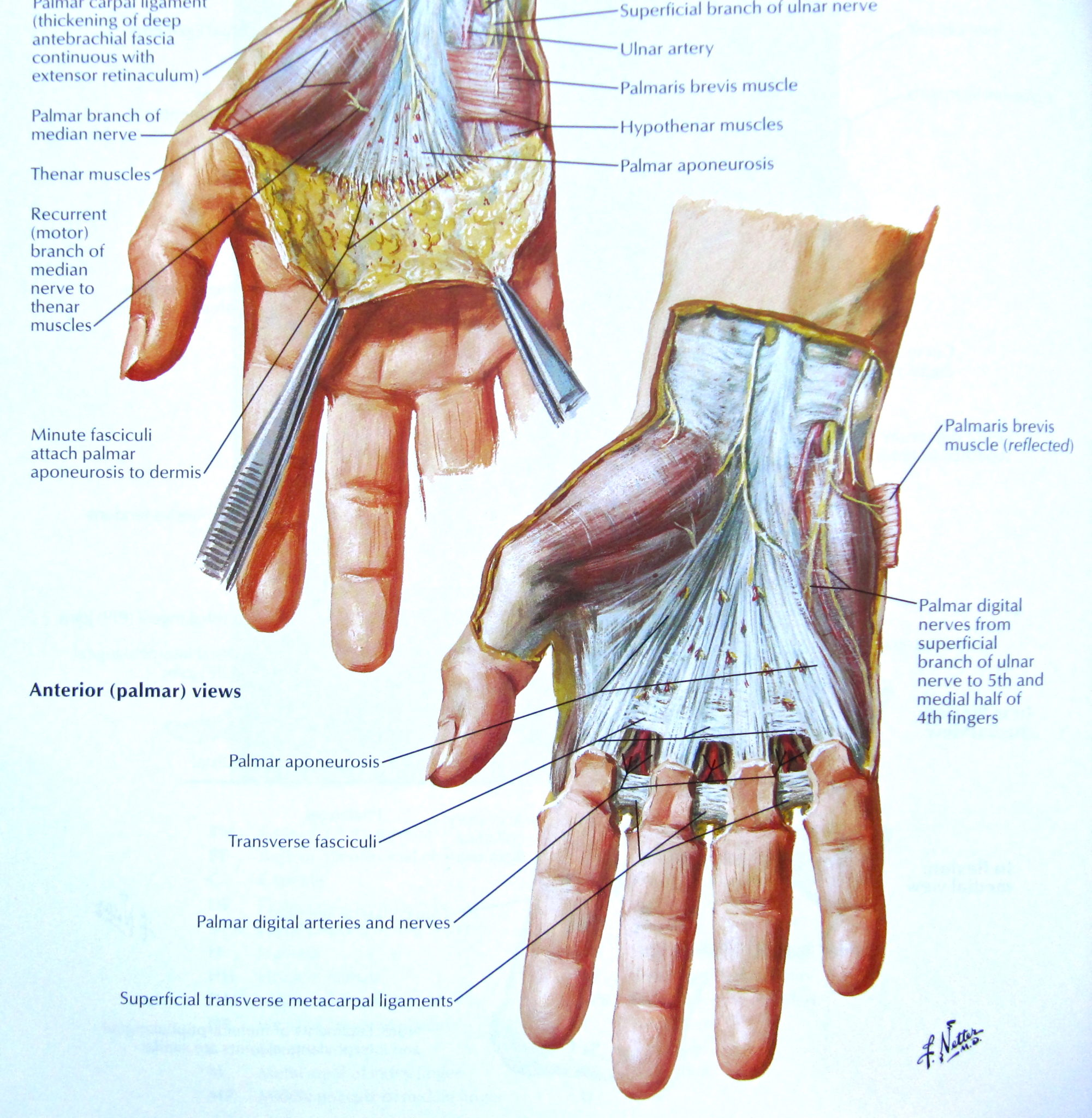 hand muscles diagram stages of mitosis labeled understanding the anatomy health life media