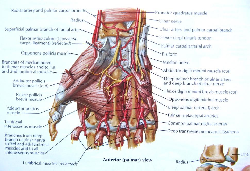palmar hand muscle anatomy diagram 2003 dodge ram 2500 trailer wiring understanding the of | health life media