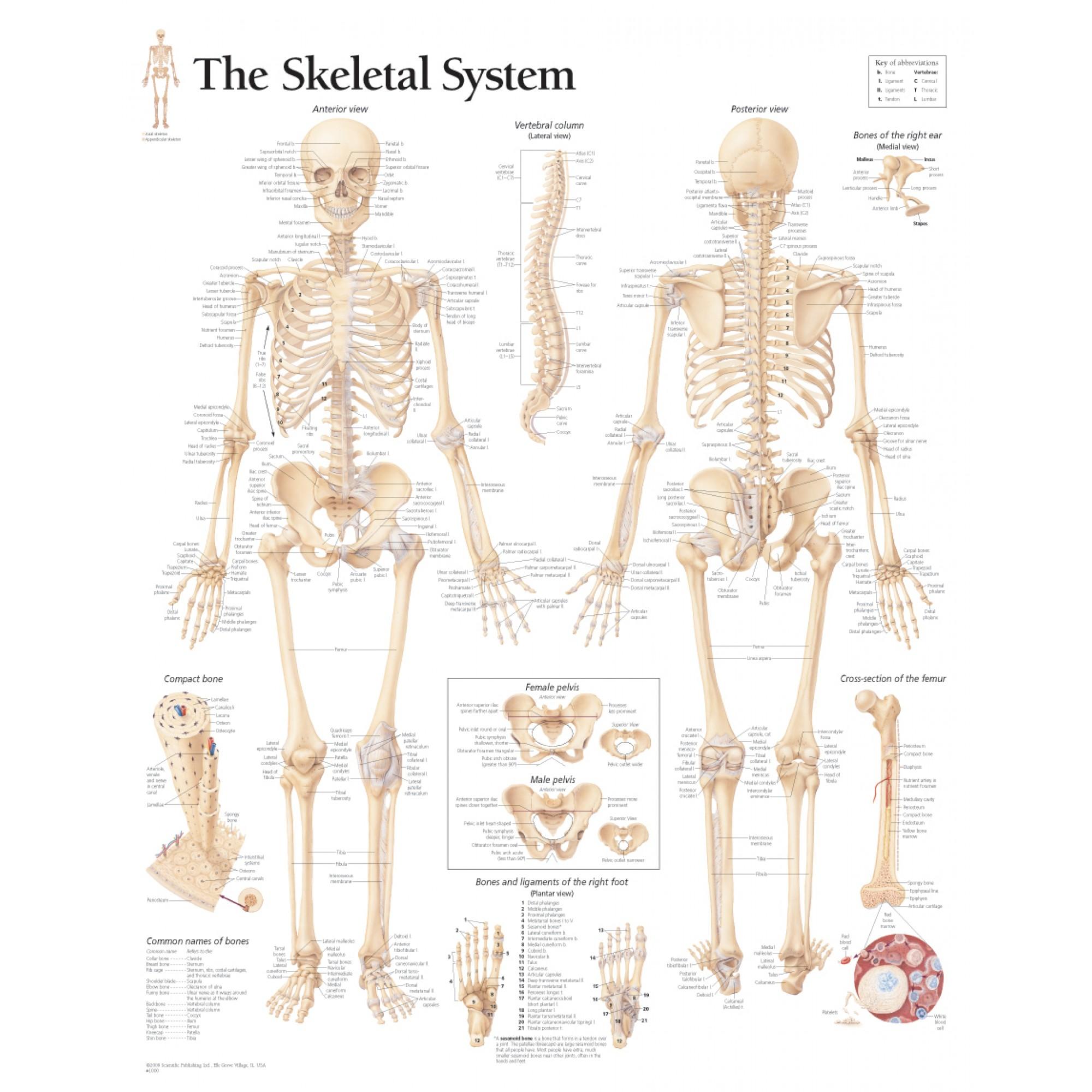 Skelettsystem Anatomie