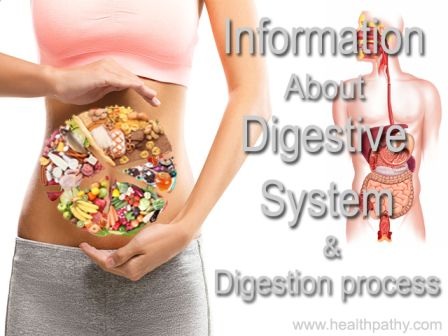 information about digestive system digestion process