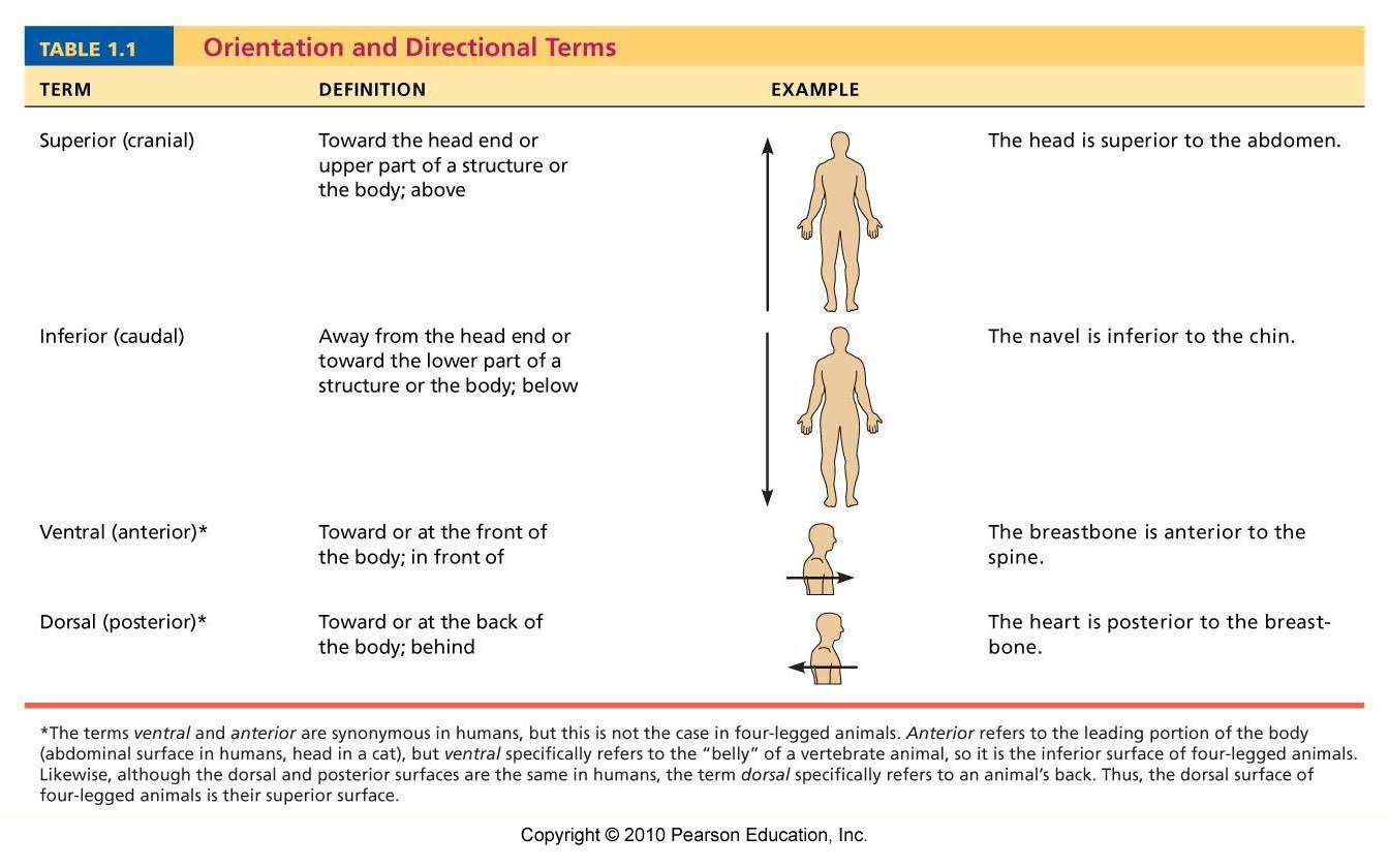 Worksheet Anatomical Directional Terms Worksheet Grass