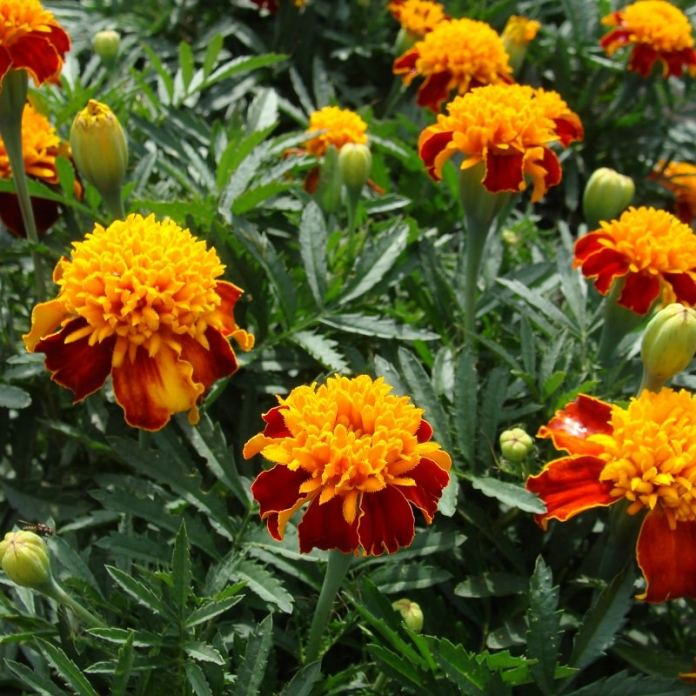 Double Fiesta French Marigolds