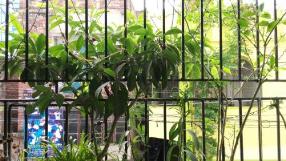 Balcony garden with Chikoo plant