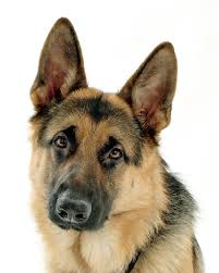 GSD head - keeping your dog healthy helps to keep you healthy