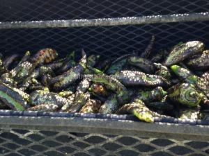 Roasted Green Chilies at an outdoor vendor - Colorado Springs, CO