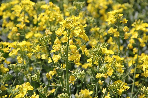 field-of-rapeseeds-1380227__340